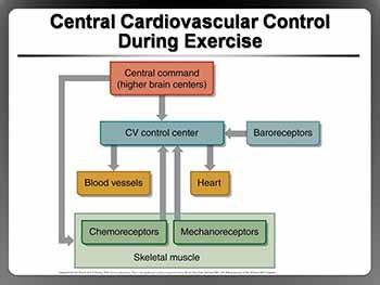 Cardiorespiratory Responses to Acute Exercise