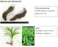 Botany Lab Monocot Medical Notes